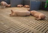 Бетонно-щелевые решётки для свиней