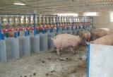 Групповое содержание свиноматок